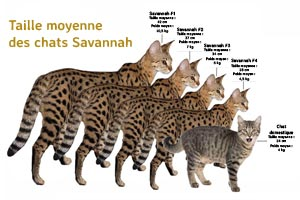 Taille moyenne des chats Savannah