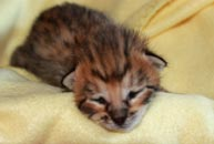 Chaton Savannah F3