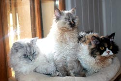 Chats Selkirk Rex